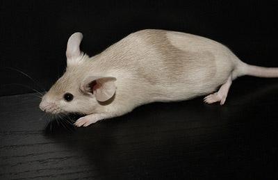 moult on fancy mouse